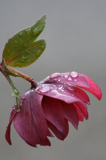 Hellebore after rain shower