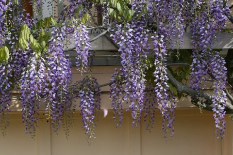 Wisteria over garage door