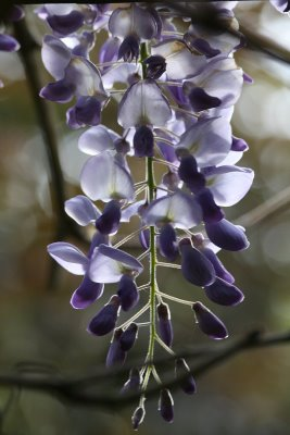 Single wisteria bloom