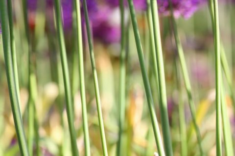 Green stems of purple allium