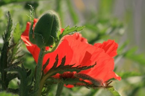 Red Poppies in Morning Light