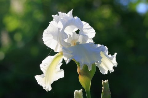 White Iris in the Morning Light