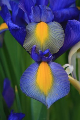 Blue and yellow iris
