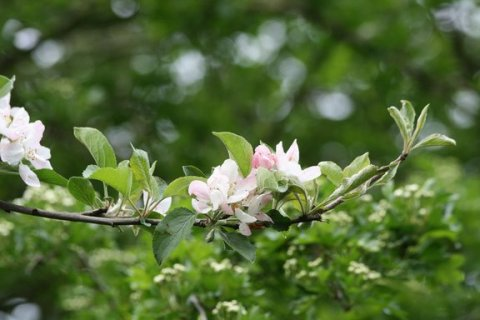 Apple blossoms on our back-yard tree