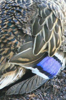 Detail of beautifully patterned feathers