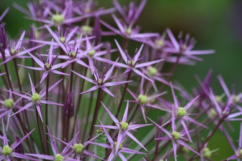 Star-shaped flowers