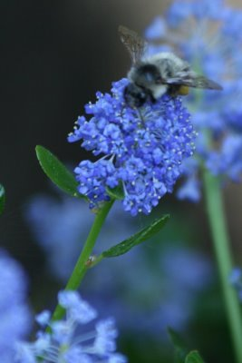 This bee loves blue flowers, too