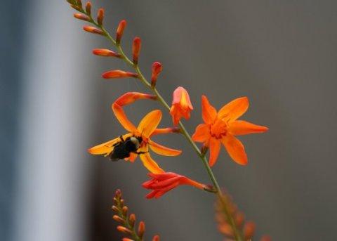 Bee on crocosmia