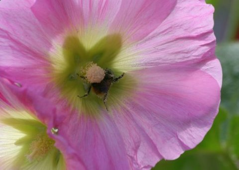 Bee on pink hollyhock