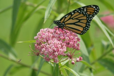 Monarch butterfly on swamp milkweed, Minnesota, August 2008