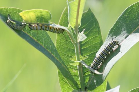 Monarch caterpillars on milkweed plant