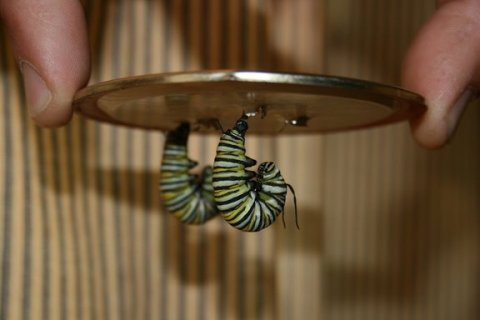 Two caterpillars suspended like the letter J