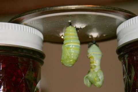 New chrysalis before it hardens; the other pupa failed to complete its transformation into a viable chrysalis