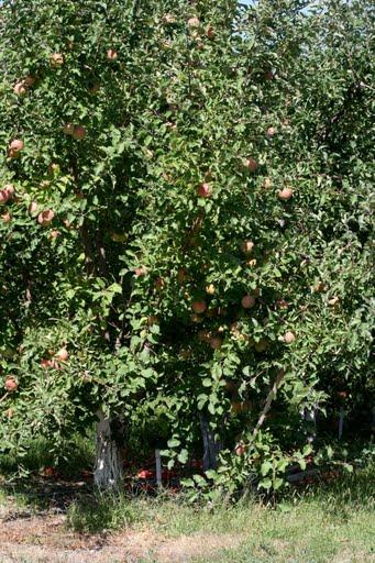 Apple orchard in East Wenatchee
