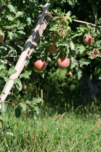 Boughs bent with apples
