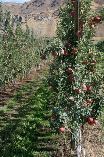 Apple orchard, East Wenatchee