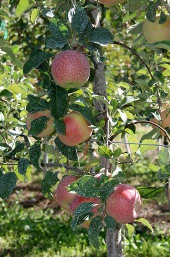Apple tree laden with fruit