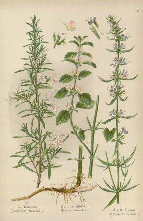 1000+ images about poppy kb loves rosemary on pinterest ...  rosemary herb diagram