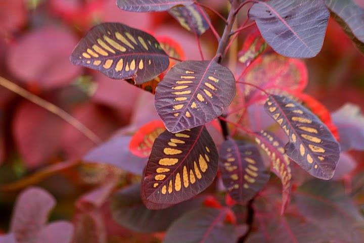 Cotinus Coggygria Leaf