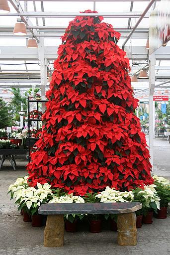 November 29, 2011. Molbak's tree made of poinsettias ... - Christmas Angel Marbella Rosemary's Blog