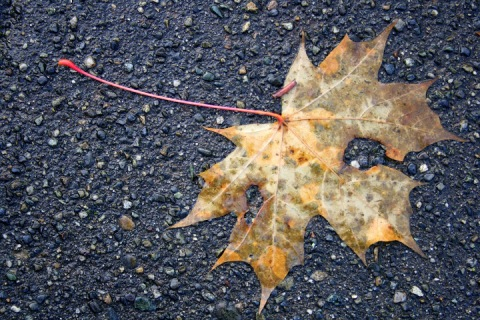 Decaying maple leaf stuck to the sidewalk