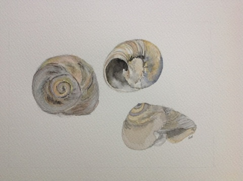 Moon snail shells # 1, 2 and 3; watercolor sketches