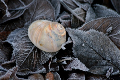 Moon snail shell on frosty leaves