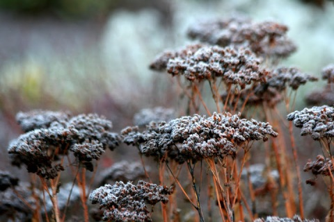 The frost gives a new meaning to the idea of a white garden.
