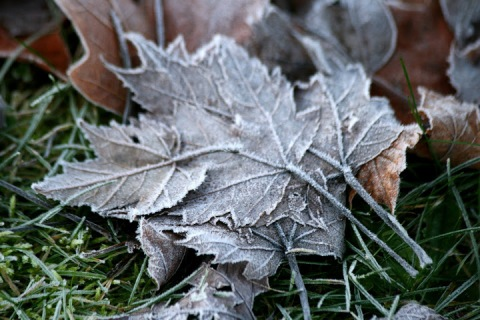 Layered maple leaves