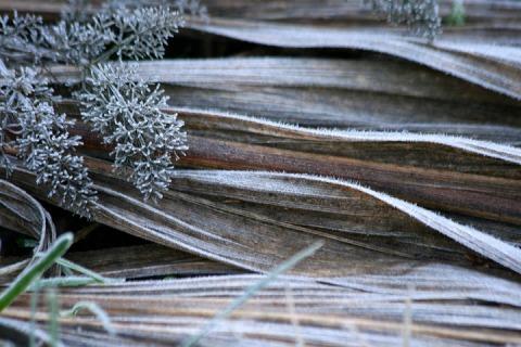 Frost-rimed grasses in the garden
