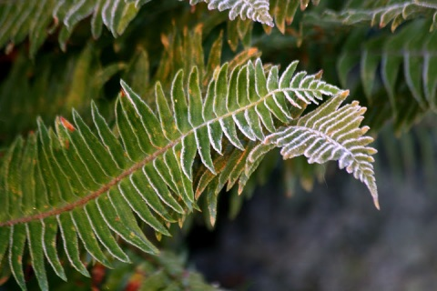 Edged ferns