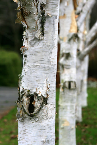 Row of birches in a city parking strip