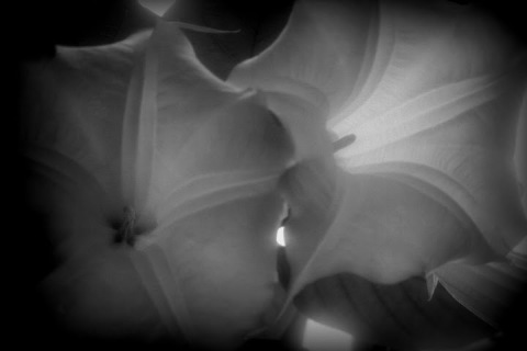 Trumpet flowers with Lomo-ish effect
