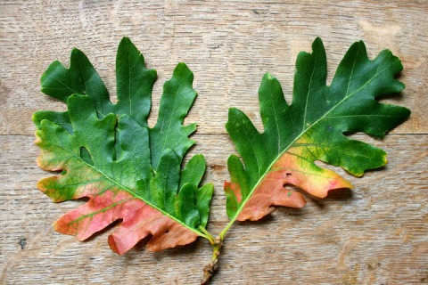 Oak leaves beginning to change color
