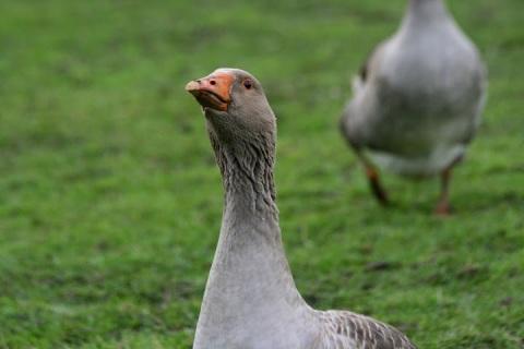 A Toulouse goose