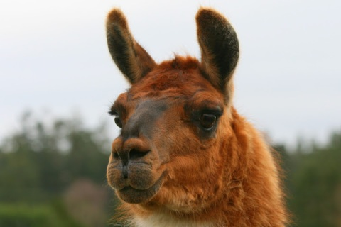 Dolly, the llama -- one of two llamas that guard the sheep
