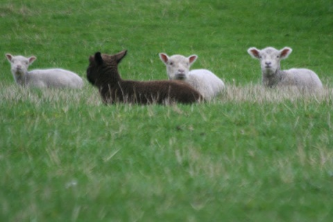 Spring lambs at Camelot Downs farm