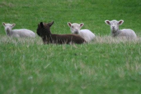 Spring lambs at Camelot Downs farm