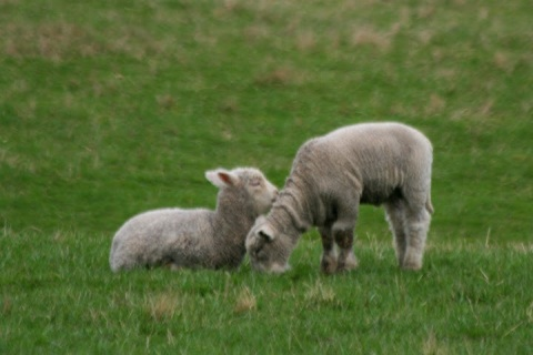 Spring lambs, Camelot Downs