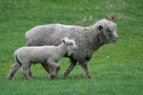 South Down ewe and her lamb