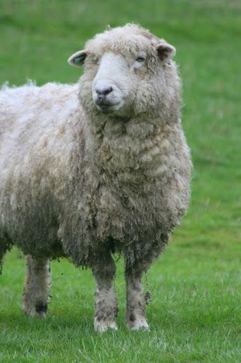 Romney Marsh ewe