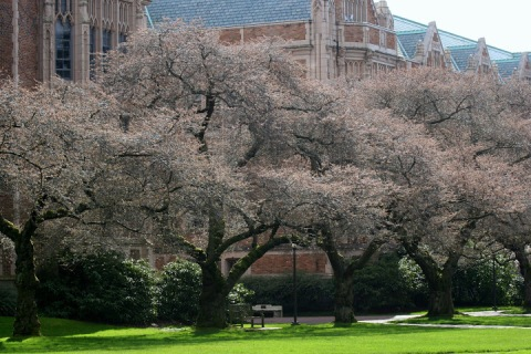 Last week the Yoshino cherry trees on the UW campus were just starting to bud