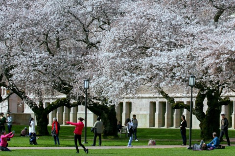 It's cherry blossom viewing time on the UW campus, Seattle.