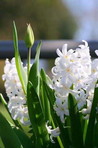Hyacinths with tulip