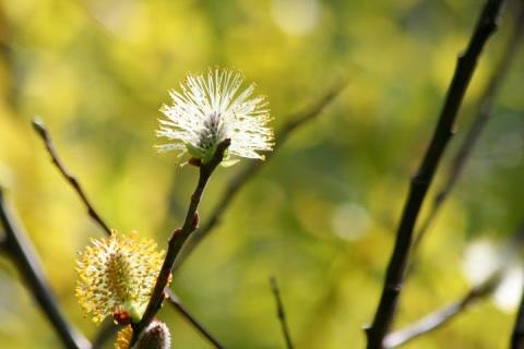 Wispy willow spreading seeds