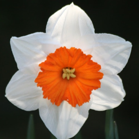 Sprightly orange centered daffodil