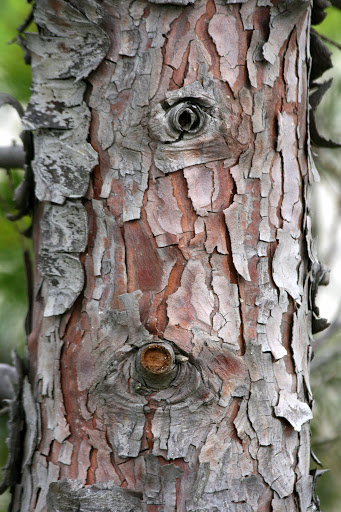 Tree with knot holes and peeling bark