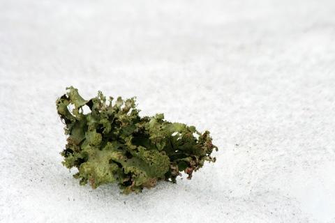 Fallen lichen on snow