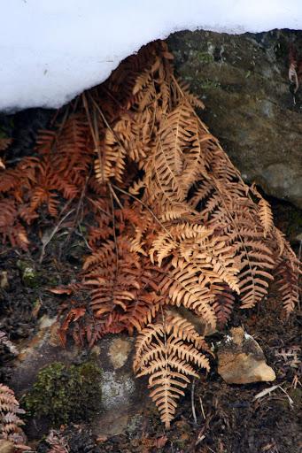 Fern revealed under melting snowbank