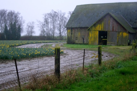 Old weathered barn next to daffodil field, Skagit Valley